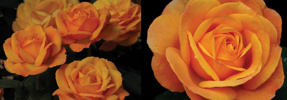 2013 Rose Festival Rose for Neil Kelly Home Improvement ideas for Mother's Day