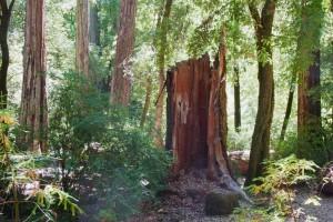 Redwood-stump-1400-pix-1024x768