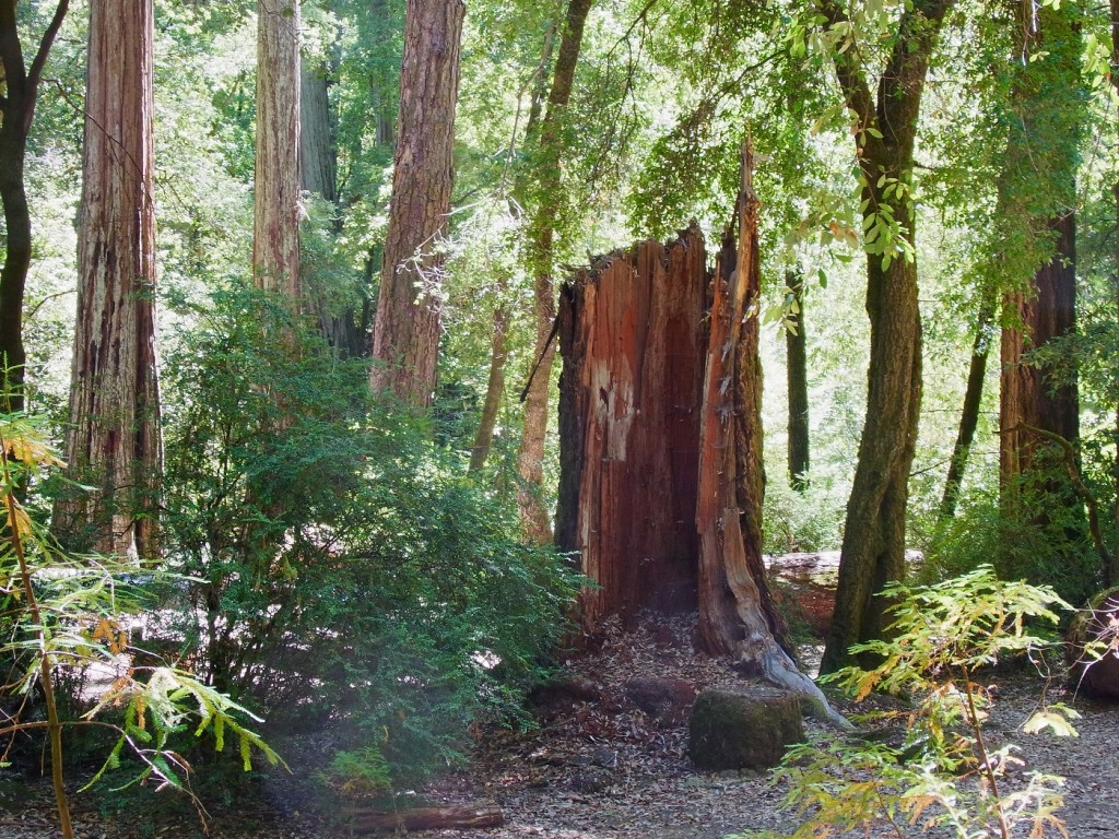 How a Redwood stump can fit your decorating ideas.